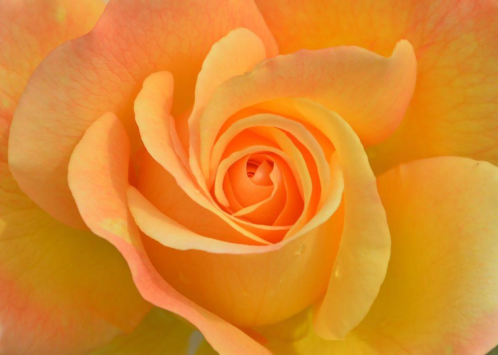 Eine wunderschöne Rose in strahlenden Orangetönen